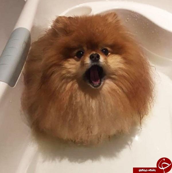 حمام کردن سگ پومرانیا