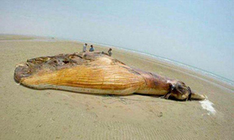 خودکشی نهنگ براید در بندر گرزه