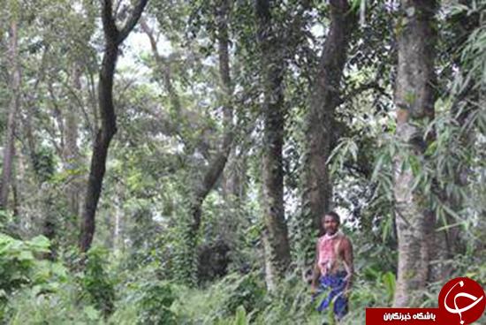 جنگل جاداو پاینگ
