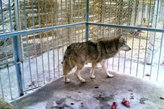 گرگ باغ وحش به یکی از کارکنان حمله ور شد