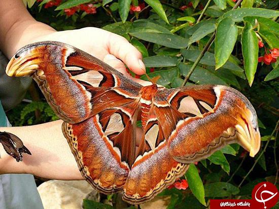 پروانه اطلسی غول پیکر ترین پروانه دنیا