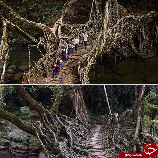 پل جنگلی طبیعی و زنده