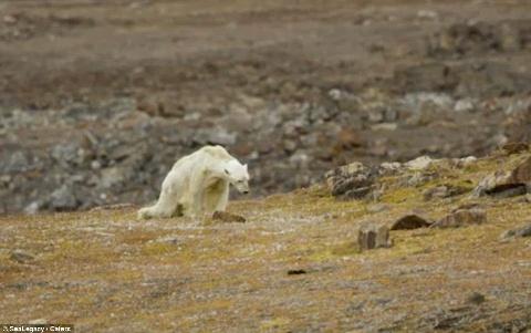جدال خرس قطبی با مرگ