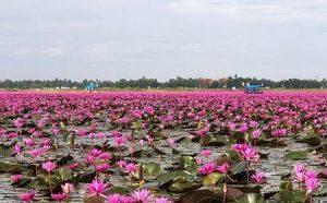نون هانگ دریاچه ای پوشیده از نیلوفر در تایلند + عکس